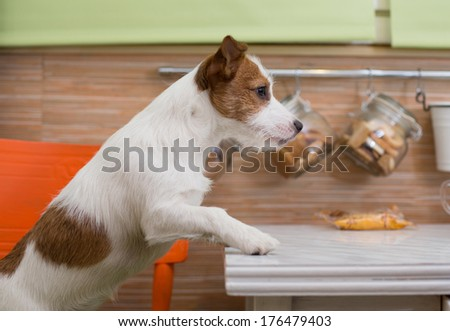 Jack Russell dog in the kitchen