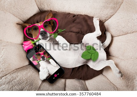 jack russell  dog looking and staring at you   ,while lying on bed with valentines rose in mouth, taking a selfie , in love - stock photo