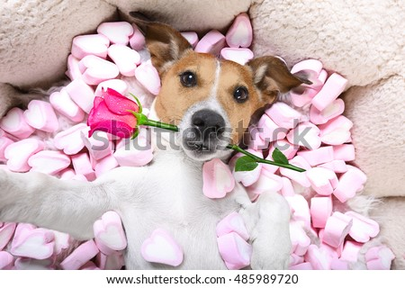 Jack Russell Dog Looking And Staring At You ,while Lying On Bed With  Valentines Rose
