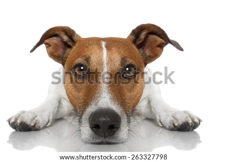 jack russell dog looking and staring  at you ,while lying on the ground or floor, isolated on white background - stock photo