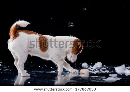 Jack Russell, dog on a black background with foam - stock photo