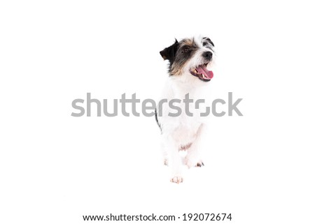 Jack Russell dog on a white background