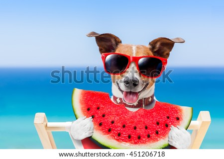 jack russell dog  on hammock at the beach relaxing  on summer vacation holidays,  eating a fresh juicy watermelon - stock photo