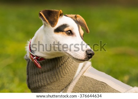Jack Russell dog portrait. - stock photo