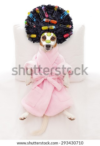 jack russell dog relaxing  and lying, in   spa wellness center ,getting a facial treatment with  moisturizing cream mask and cucumber and hair rollers - stock photo