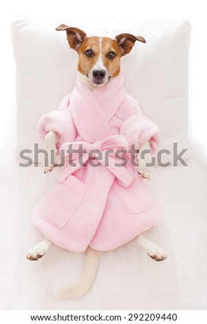 jack russell dog relaxing  and lying, in   spa wellness center ,wearing a pink  bathrobe - stock photo