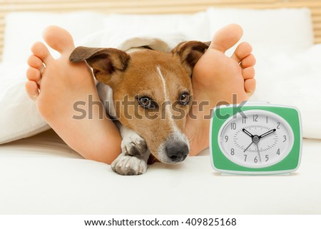 jack russell dog resting ,sleeping or having a siesta on bed in bedroom, with a clock and owner - stock photo