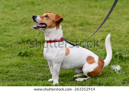 Jack Russell dog sat down in park - stock photo