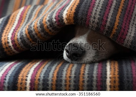 jack russell dog  sleeping under the blanket in bed the  bedroom,   ill ,sick or tired, sheet covering its face - stock photo