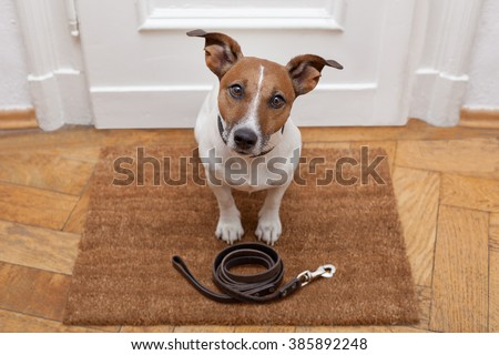 jack russell dog  waiting a the door at home with leather leash, ready to go for a walk with his owner - stock photo