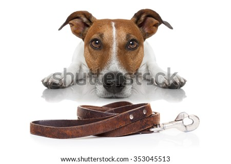 jack russell dog waiting for a walk with owner with leash