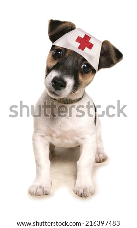 Jack russell dog wearing a medical hat studio cutout