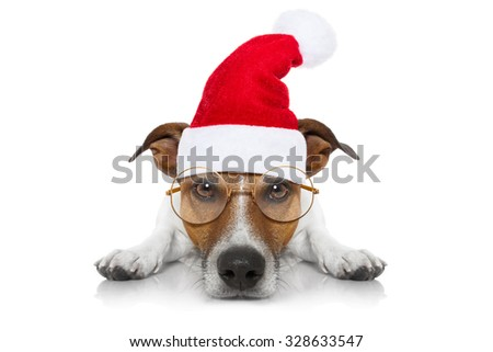 jack russell dog   with santa claus hat for christmas holidays, isolated on white background