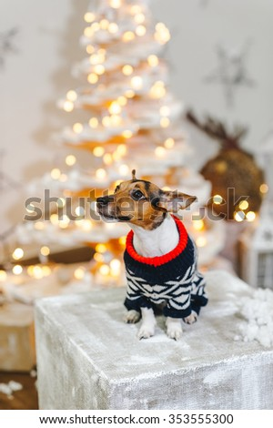 Jack Russell in Winter Sweaters  in the Christmas decor - stock photo