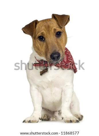Jack russell (6 months) in front of a white background