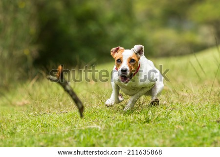 JACK RUSSELL PARSON TERRIER CHASING HIS TOY AT FULL SPEED, LOW ANGLE FAST ACTION SHOT  - stock photo