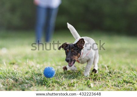 JACK RUSSELL PARSON TERRIER RUNNING in park, HIGH SPEED SHOT