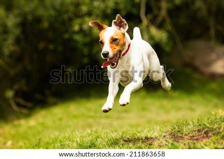 JACK RUSSELL PARSON TERRIER RUNNING TOWARD THE CAMERA, LOW ANGLE HIGH SPEED SHOT  - stock photo