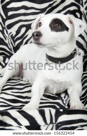 Jack russell pup with clothes  - stock photo