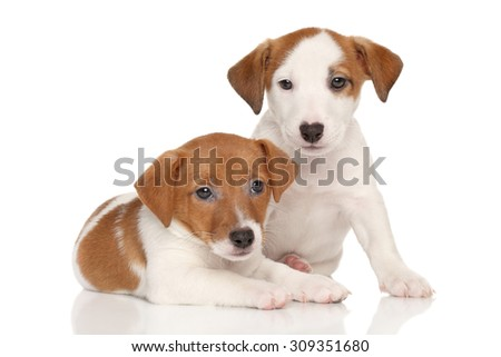 Jack Russell puppies in front of white background
