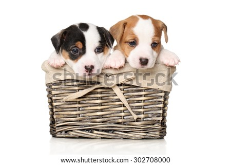 Jack Russell puppies sits in wicker basket on a white background - stock photo