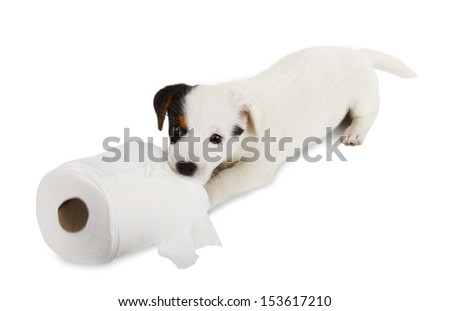 Jack Russell puppy caught playing in toilet paper - stock photo