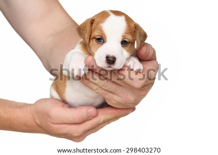 Jack Russell puppy in hands isolated on a white background