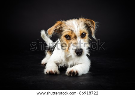 Jack russell puppy isolated on black background - stock photo