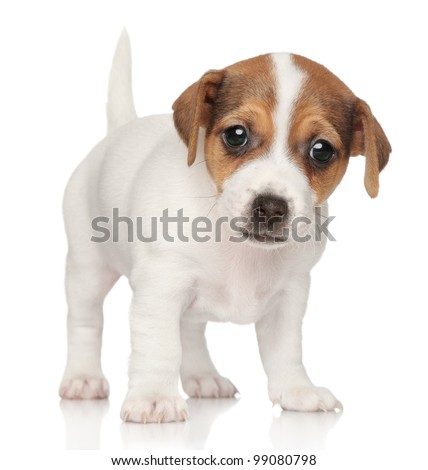 Jack Russell puppy (1 month old) standing on a white background - stock photo