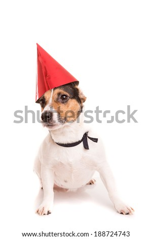 Jack Russell puppy wearing a festive hat, isolated over white