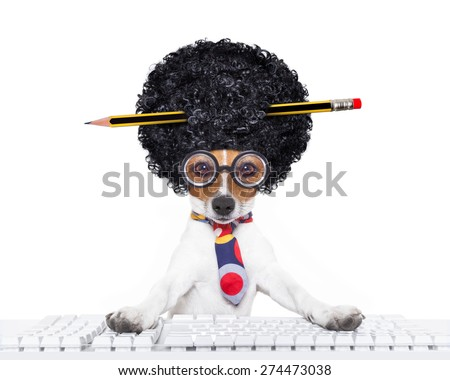 jack russell secretary dog booking a reservation online using a pc computer laptop keyboard ,with crazy silly afro wig , pencil in hair, isolated on white background - stock photo