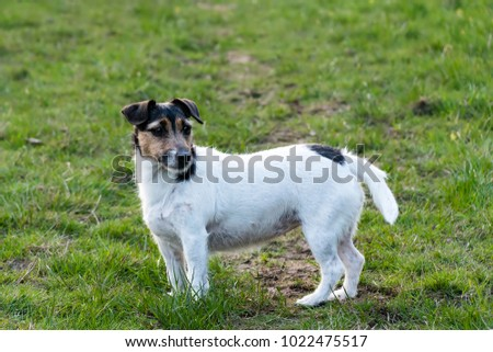 Jack Russell Standing in a field