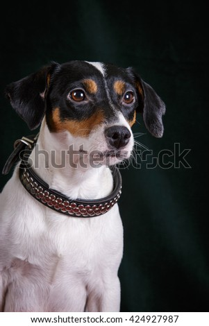 jack russell terrier adult smooth dog on black dark background isolated in collar