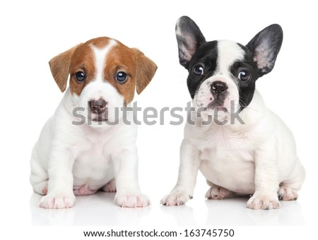 Jack Russell terrier and french bulldog puppies. Close-up portrait on white background