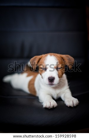 Jack Russell Terrier, books, chair