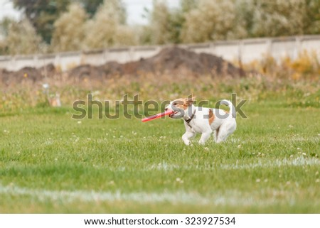 Jack Russell Terrier catches a flying disc