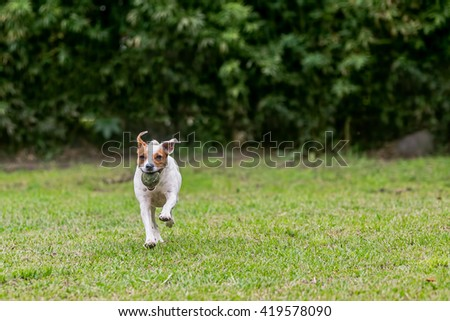 Jack Russell Terrier Chasing His Toy  - stock photo