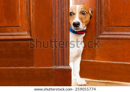 jack russell terrier dog at the door at home watching from behind with curiosity and scared - stock photo