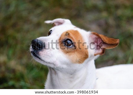 Jack Russell Terrier dog face with begging expression - stock photo