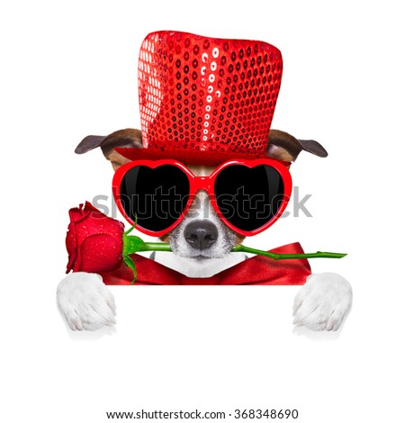 jack russell terrier dog isolated on white with valentines red rose in mouth isolated on white background behind banner or placard