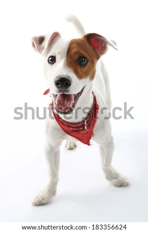 Jack Russell Terrier dog joyful  . Portrait of a happy terrier in a red collar on a white background - stock photo