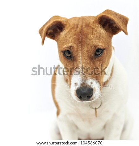 Jack Russell Terrier dog looking down