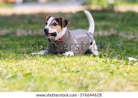 Jack Russell terrier dog playing at a park with a pine. - stock photo