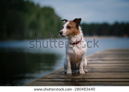Jack Russell Terrier dog playing in water, summer, beach - stock photo