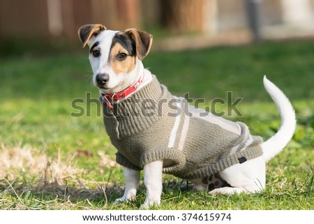 Jack russell terrier dog portrait at a park. - stock photo