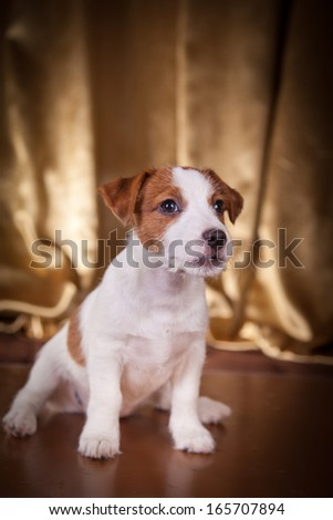 Jack Russell terrier, dog, puppy, playful, cloth, gold, background