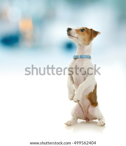 Jack Russell Terrier dog sitting up and begging a treat