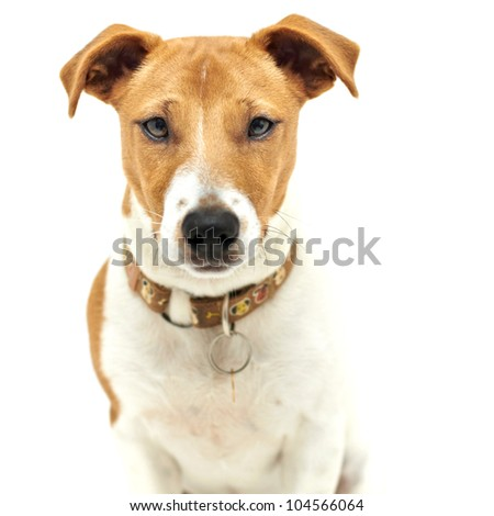 Jack Russell Terrier dog sitting upright - stock photo