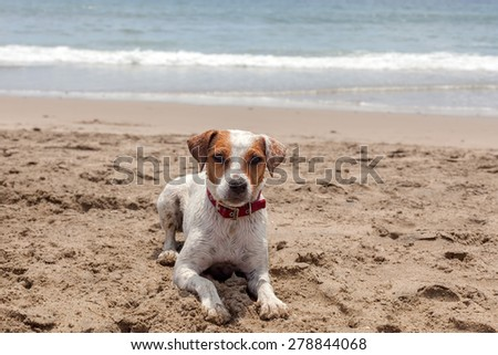 Jack Russell Terrier Dog Stand On Hot Sand At The Pacific Ocean