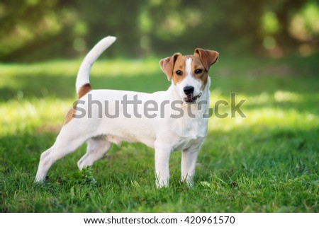 jack russell terrier dog standing outdoors in summer